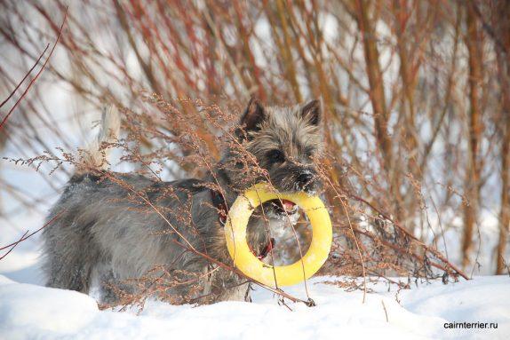Фото керн терьера питомника Еливс на февральской прогулке с игрушкой в зубах