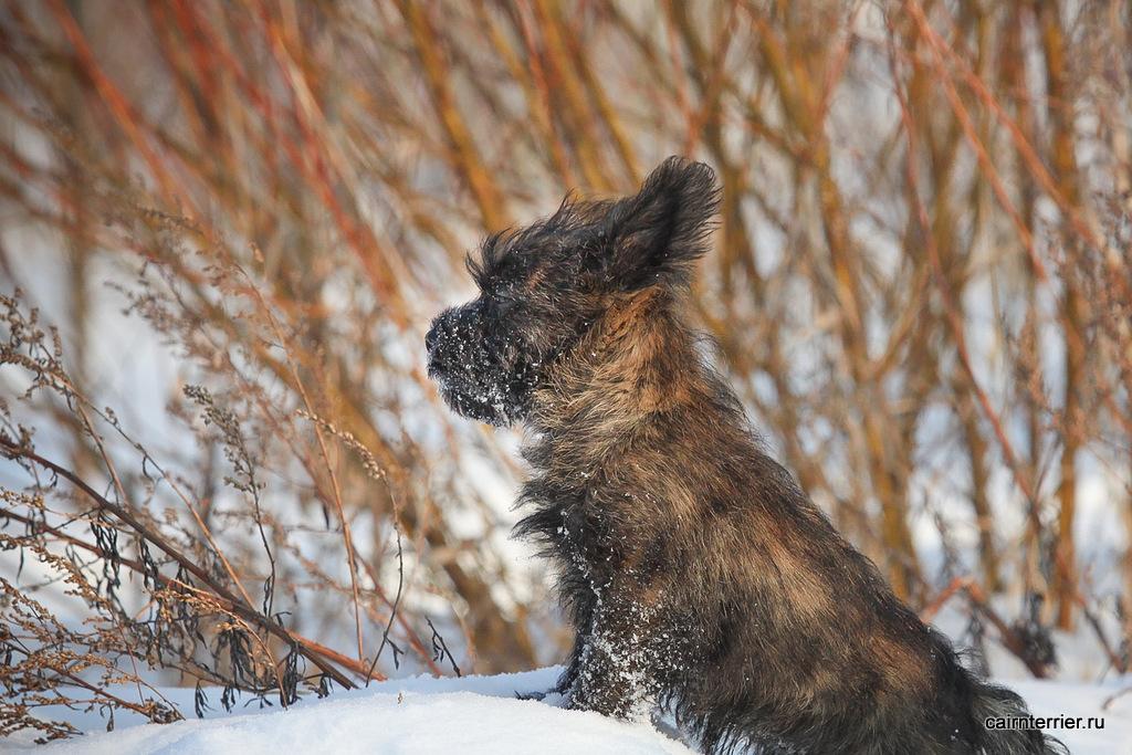 Фото тигрового щенка керн терьера питомника Еливс сидящего во время февральской прогулки