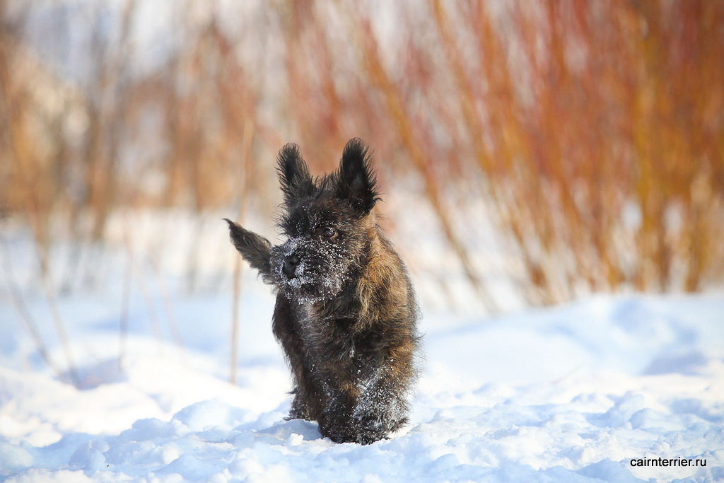 Фото тигрового щенка керн терьера питомника Еливс стоящего на выгуле зимой