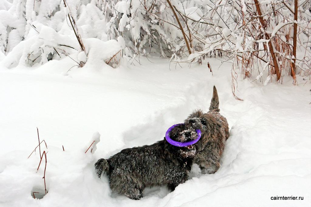 Фото керн терьеров питомника Еливс на зимней прогулке с кольцом-игрушкой в пасте