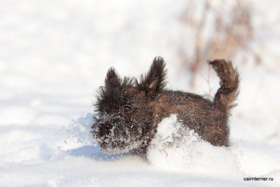 Фото тигрового щенка керн терьера питомника Еливс на прогулке в снегу зимой