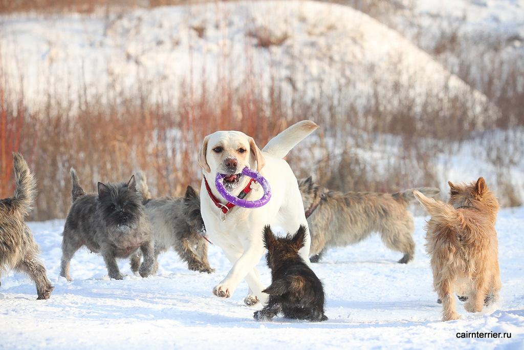 Фото тигрового щенка керн терьера питомника Еливс на прогулке с другими собаками зимой